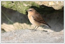 Belorit sedy / Wheatear