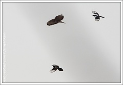 Boj kanete a strak / Fight of Buzzard and Magpies