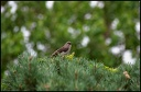 Drozd mnohohlasy / Northern Mockingbird