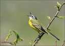 Konipas lucni / Blue-headed Wagtail