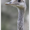 Nandu pampov? - Greater Rhea