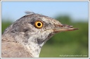 Penice vlasska / Barred Warbler (disabled)