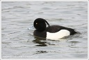 Pol?k chocholačka / Tufted Duck