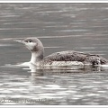 Potáplice malá / Red-throated Diver