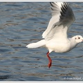 Racek chechtavý / Black-headed Gull