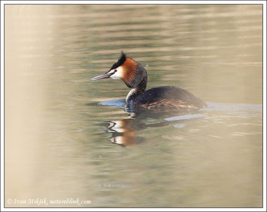 Potápka rohác / Great Crested Grebe