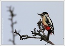 Strakapoud velky / Great Spotted Woodpecker