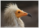Sup mrcho?rav? / Egyptian Vulture