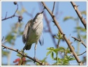 Penice pokrovni / Lesser Whitethroat