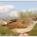 Penice hnedokridla / Whitethroat
