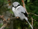 Tuhyk sedy / Northern Great Grey Shrike