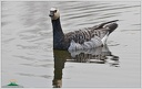 Barnacle Goose / Berneska belolici
