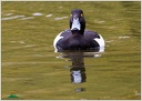 Polak chocholacka / Tufted Duck