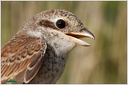 Red-backed Shrike / Tuhyk obecny