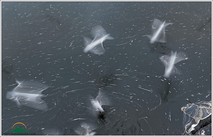 Black-headed Gull / Racek chechtavy - rapid motion