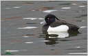 Tufted Duck / Polak chocholaty