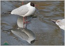 Black-headed Gull / Racek chechtavy