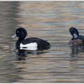 Polak chocholaty / Tufted Duck