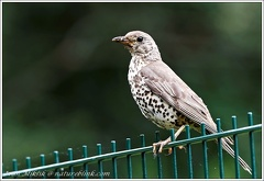 Drozd zpevny / Song Thrush