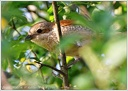 Tuhyk obecny / Red-backed Shrike