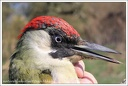 Zluna zelena / Green Woodpecker