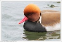 Zrzohlavka rudozoba / Red-crested Pochard