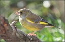 Zvonek zeleny / Greenfinch