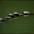 ?elva n?dhern? / Red-eared Terrapin