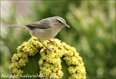 Budnicek kanarsky / Canary Islands Chiffchaff