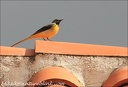 Konipas horsky / Grey Wagtail - Canary Islands (Gran Canaria)