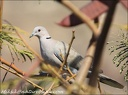 Hrdkicka zahradni / Collared Dove (Canary islands - Gran Canaria)