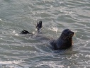 New Zealand fur seal / Lachtan Forsteruv
