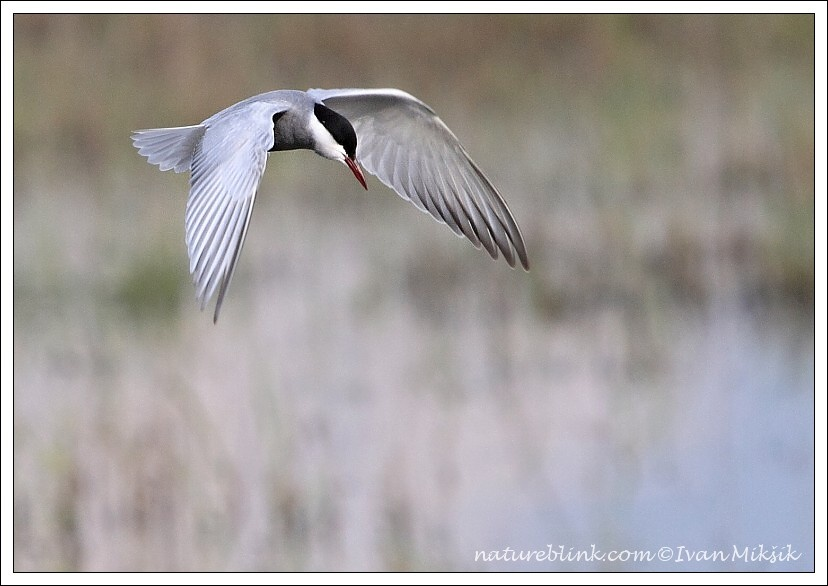 Ryb?k bahenn? / Whiskered Tern