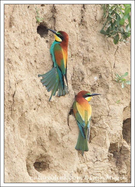 Vlha pestr? / Bee-eater