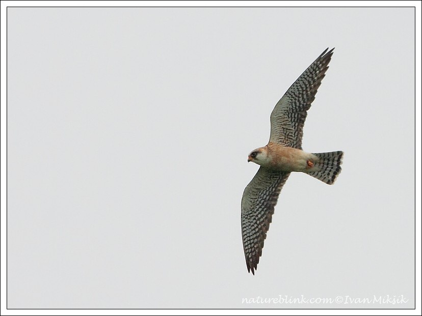 Po?tolka rudonoh? / Red-footed Falcon