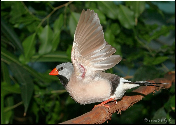 Pasovnik dlouhoocasy / Long-tailed Finch