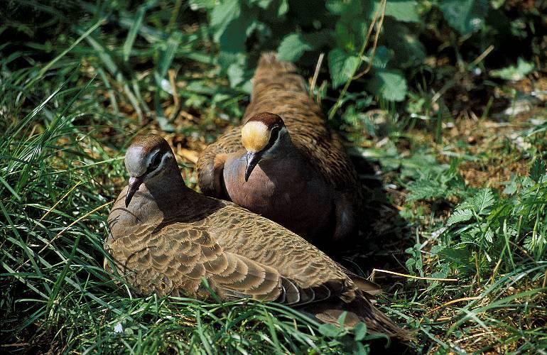 Бронзовокрылые голуби-фапс