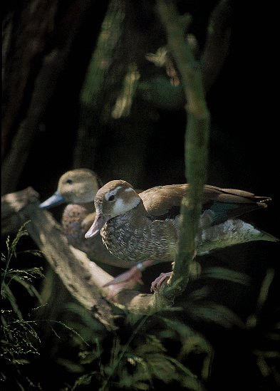 http://www.natureblink.com/ptaci/kach_sedob9114.jpg