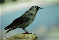 Jackdow corvus monedula sojka obecná jay garrulus glandarius